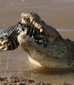 FHM-Krokodil