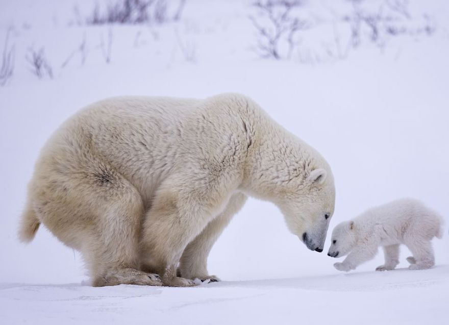 I saw a polar bear mother and her newborn cubs in Wapusk National Park, Canada in March 2016. The -35F degree windy weather became even more challenging after sleet coated my camera, lens, and other gear in a solid layer of ice. Luckily, after several days of waiting, the mother cub finally emerged from her den with two three-month old cubs. I made this photo while the mother patiently waited as one cub carefully teetered towards her on icy ground covered in a layer of freshly fallen snow. (Photo And Caption By Baoting (Bob) Chen / National Geographic Travel Photographer Of The Year Contest)
