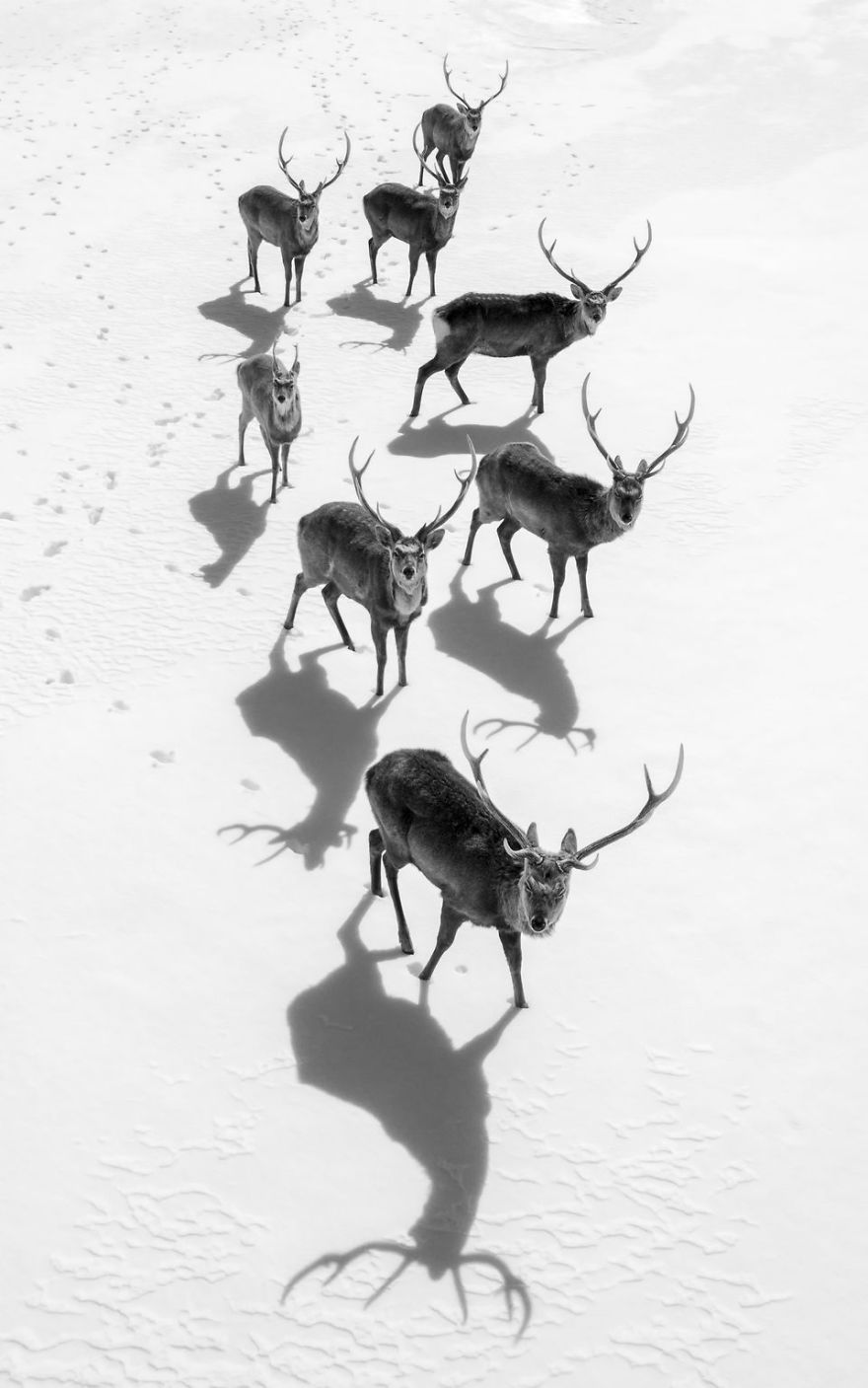 These 8 stags were wandering on the huge snowy field in Hokkaido Japan. When my drone was aproching them, they stopped wandering and then looked up to the unfamiliar flying object with their curiosities. I like 8 stags' arrangement, silhouettes and shadows. (Photo And Caption By Hidetoshi Kikuchi / National Geographic Travel Photographer Of The Year Contest)
