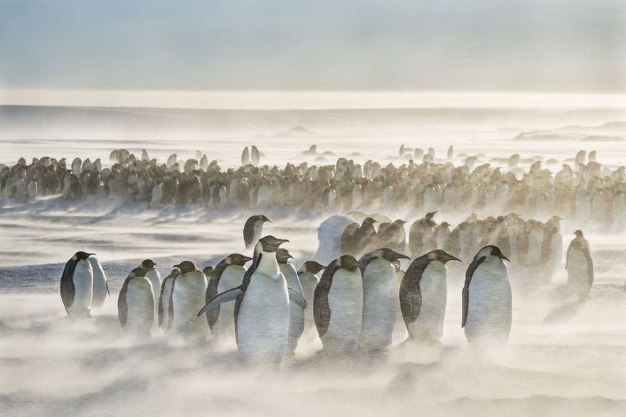 A colony of emperor penguins brave 25 knot winds and snow at Gould Bay, Weddell Sea, Antarctica. (Photo And Caption By Jose Rosas / National Geographic Travel Photographer Of The Year Contest)