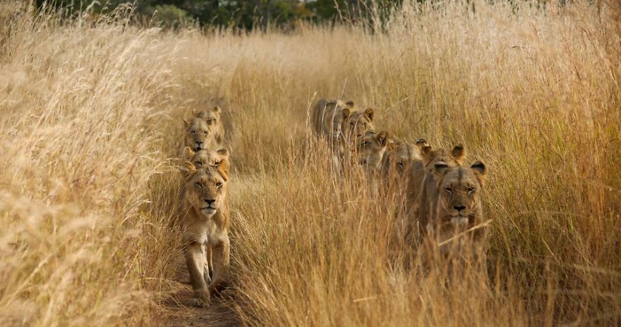 On safari in Zambia, the grass was so tall that it seemed there was no chance to see anything interesting. Then this pride of lions came walking toward us, taking advantage of the road to travel on. They too, seemed they were tired of the tall grass swatting at their faces! (Photo And Caption By Torie Hilley / National Geographic Travel Photographer Of The Year Contest)