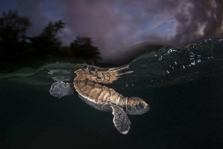 A young hawksbill turtle ducks under its first wave just minutes after hatching. Its struggle will be long and tiresome and the odds of survival are sadly stacked against it. A slow shutter speed used with flash enabled me to capture the amazing ambient light. (Photo And Caption By Matthew Smith / National Geographic Travel Photographer Of The Year Contest)