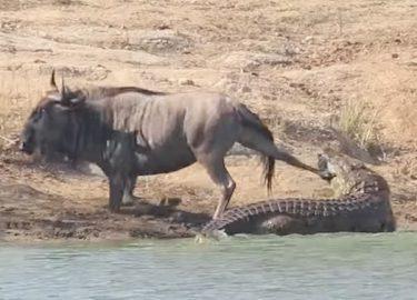 FHM-Nijlpaard