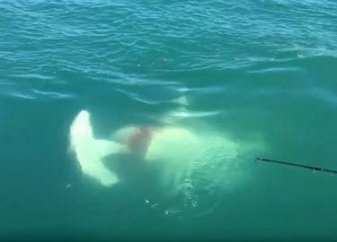Haaiengevecht