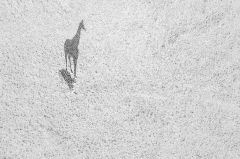 Wildlife Runner Up: 'Big Shadow' By Thomas Vijayan