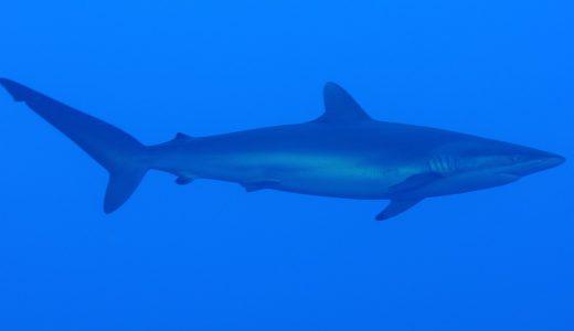 Haai worstelen