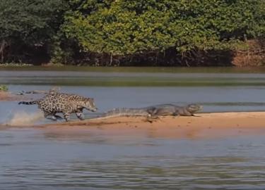 Jaguar en kaaiman
