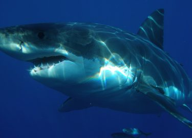 Witte haai mensenhaai
