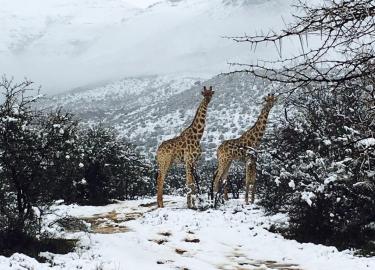 Sneeuw Zuid-Afrika Winter Giraffen