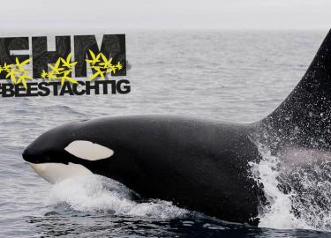 orka orca orka's orca's
