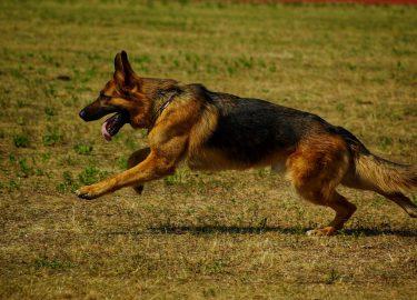 politiehond hond honden