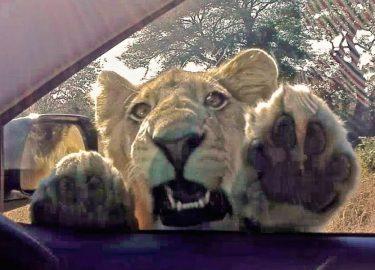 Leeuw Krugerpark
