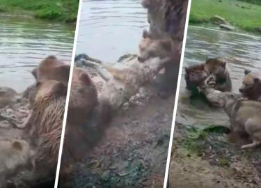beren wolf verscheuren