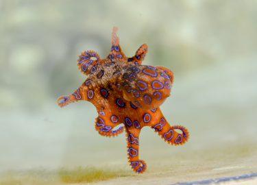 Blauw geringde Octopus