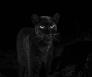 Zwarte luipaard
